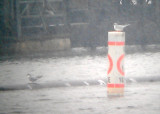 Forster's Tern - 12-29-2012 - Antioch Harbor - Frosty Forster's in Snow.