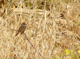 Ash-throated Flycatcher - 12-30-2012 - Shelby Forest - adult -