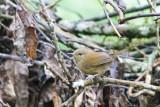 Grande Comore Brush Warbler (Nesillas brevicaudata)