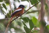 Madagascar Paradise Flycatcher (Terpsiphone mutata comoroensis)