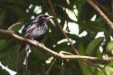 Grande Comore Drongo (Dicrurus fuscipennis)
