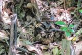 Collared Nightjar (Gactornis enarratus)