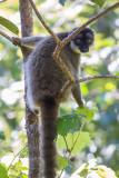 Brown Lemur (Eulemur fulvus)