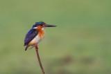 Malagasy Kingfisher (Corythornis vintsioides vintsioides)