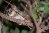 Golden-brown Mouse Lemur (Microcebus ravelobensis)