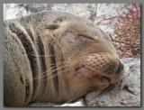 DSCN3464 Sleeping sealion.jpg