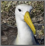 DSCN3815  Waved albatross head.jpg