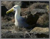 DSCN3817 waved albatross adult.jpg