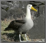 DSCN3820 Waved albatross Espanola.jpg