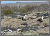 DSCN3822 Waved albatross breeding ground.jpg