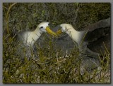DSCN3831 Waved albatross bonding.jpg