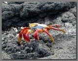 DSCN4149 Sally lightfoot crab Fernandina island.jpg