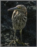 DSCN4215 juv. Striated  heron.jpg