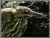 DSCN4217 Striated heron head.jpg