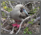DSCN4318 Red footed booby Genevesa island.jpg