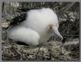 DSCN4358 Great frigatebird  chick Genevesa island.jpg