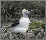 DSCN4361 Great frigatebird  chick Genevesa island.jpg