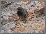 DSCN4386 Sharp-beaked ground finch.jpg