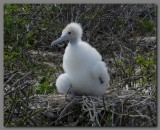 DSCN4423 Great frigatebird chick Genevesa.jpg