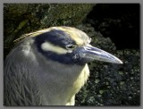 DSCN4440 Yellow crowned night heron head.jpg