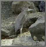 DSCN4443 Yellow crowned night heron juv..jpg