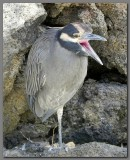 DSCN4446 Yellow crowned night heron.jpg
