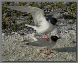 DSCN4498 Swallow- tailed gulls  procreating.jpg