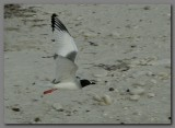 DSCN4510 Swallow-tailed gull in flight.jpg