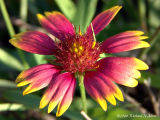 Indian Blanket  (State Wildflower)