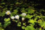Water Lillies D80_1627V3.jpg