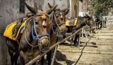 Donkeys of Santorini_D7M4531s.jpg