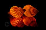 Illuminated sea shells
