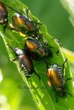 Japanese Beetles - Popilla japonica  JN12 #2941
