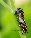 Black Swallowtail JN12 #2379