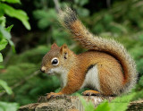 Red Squirrel JN12 #0468