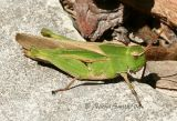 Northern Green-striped Grasshopper #2505  Chortophaga viridifasciata