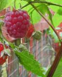 An unseasonal raspberry