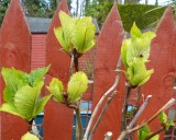 The hydrangea is springing back