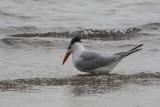 4961 - Royal Tern