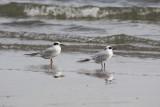 4966 - Forster's Tern