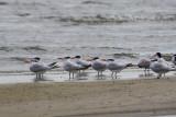 5029 - Royal Tern