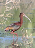 7392 - White-faced Ibis