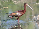 7396 - White-faced Ibis