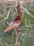 7407 - White-faced Ibis