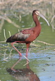 7411 - White-faced Ibis