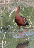 7415 - White-faced Ibis
