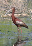 7431 - White-faced Ibis