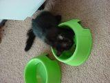 little black fur ball