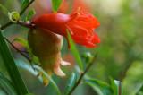 Pomegrante Blossom