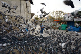 Man feeding pigeons between the New Mosque and Spice Bazaar Istanbul Turkey